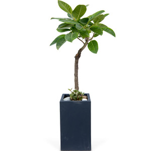 뱅갈고무나무 사각
